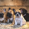 French Bulldog Puppies for sale, Pug Puppies for sale near me